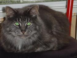 Rominet, chat Norvégien