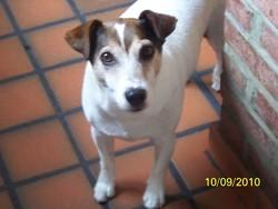 Léo, chien Jack Russell Terrier