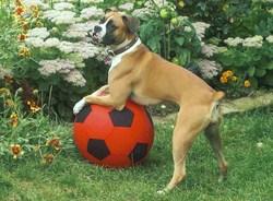Dixie, chien Boxer