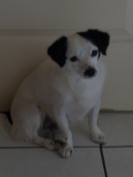 Wooffy, chien Jack Russell Terrier