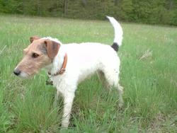 Compote, chien Fox-Terrier