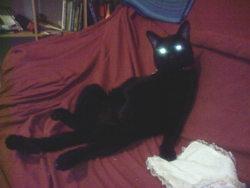 Miguel, chat Européen