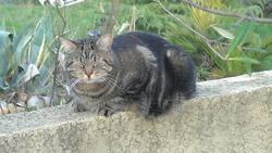 Ascot, chat Européen