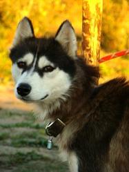 Fear, chien Husky sibérien