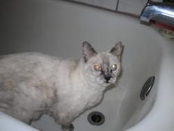 Zaza, chat Siamois