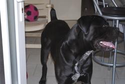 Tatayet, chien Cane Corso