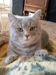 Chimère, chat British Shorthair