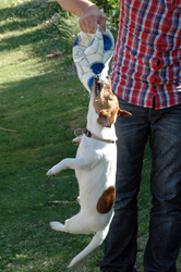 Diesel, chien Jack Russell Terrier