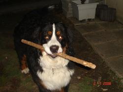 Cyrus, chien Bouvier bernois