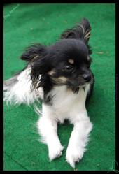 Nandra, chien Chihuahua