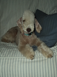 Fee, chien Bedlington Terrier