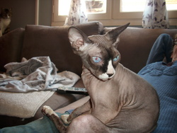 Fée, chat Sphynx
