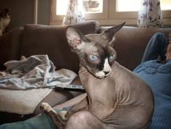 Fée, chat Sphynx