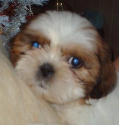 Fee Clochette, chien Shih Tzu