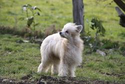 Fee Clochette, chien Chien chinois à crête