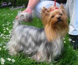 Fée, chien Yorkshire Terrier