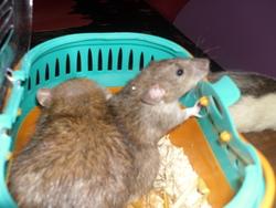 Atropos, rongeur Rat