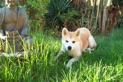 Feeby, chien Akita Inu