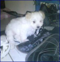 Feeby, chien Bichon maltais