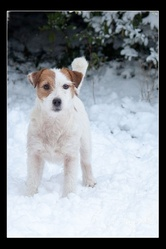 Feed Back, chien Jack Russell Terrier