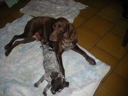 Feedezene, chien Braque allemand à poil court