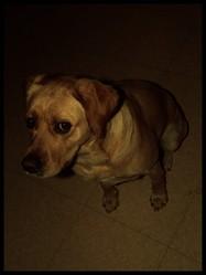 Feegie, chien Labrador Retriever