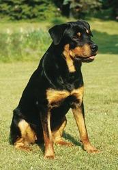 Feeling, chien Rottweiler