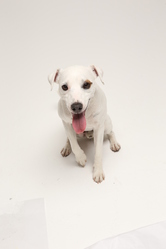 Feever, chien Parson Russell Terrier