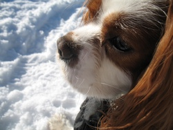 Feijao, chien Cavalier King Charles Spaniel