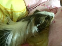 Feli , rongeur Cochon d'Inde