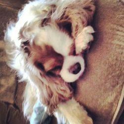 Felia, chien Cavalier King Charles Spaniel