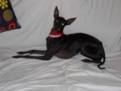 Félicia, chien Petit Lévrier italien