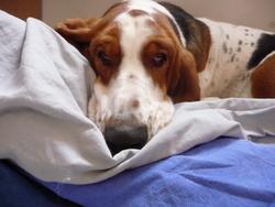 Félicie, chien Basset Hound