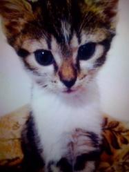 Félindra La Fauve, chat