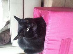 Féline , chat Gouttière