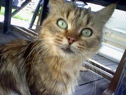 Féline, chat Angora turc
