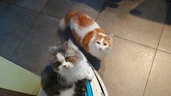 Feline, chat Persan
