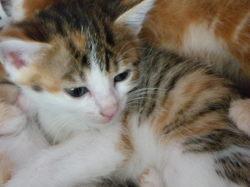 Feline, chat Exotic