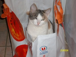 Feline, chat Européen