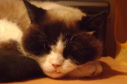 Féline, chat Siamois