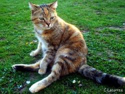 Féline, chat