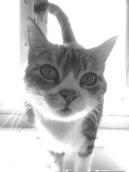 Féline, chat Européen