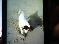 Féline, chien Jack Russell Terrier