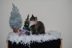 Féline D'amaliacat, chat Norvégien