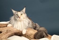 Féline Du Maine Coon'S World, chat Maine Coon