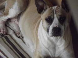 Felinka, chien American Staffordshire Terrier
