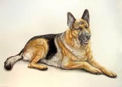 Felix, chien Berger belge