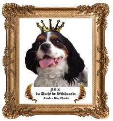 Félix, chien Cavalier King Charles Spaniel