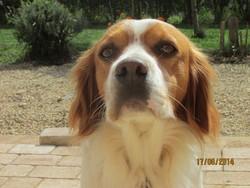 Félix, chien Épagneul breton
