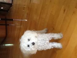 Félix, chien Caniche